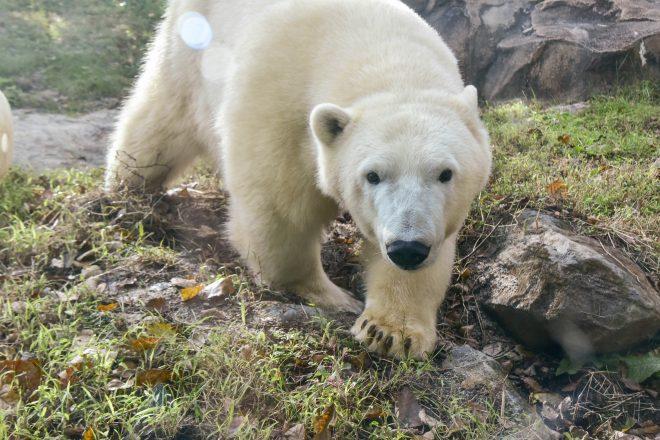 young polar bears set