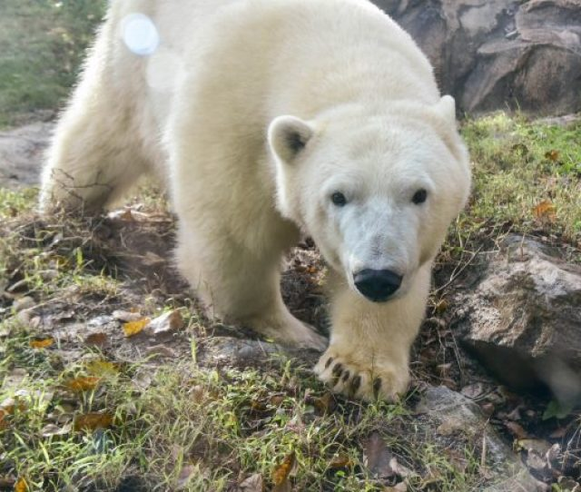 Young Polar Bears Set To Debut At The Maryland Zoo
