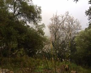 Almonds blossoms in the rain at Finca los Arboles