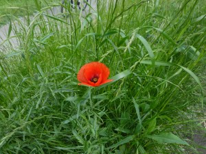 Beautiful red poppies are everywhere
