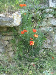 Poppies spilling through a crack in an ancient wall