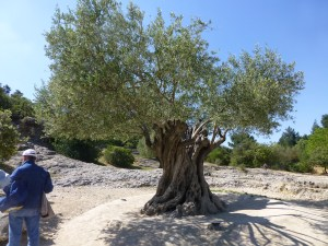 1000 year old olive tree near the Pont du Gard