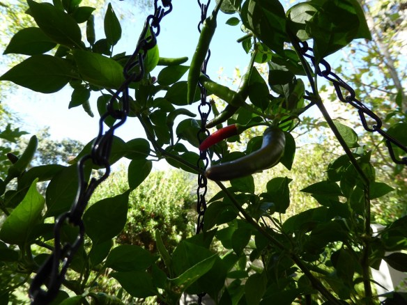 Super chiles ripening. So spicy!!