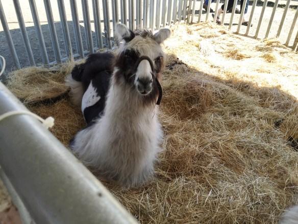 Sitting down llama