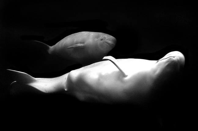 A beluga calf swims alongside its mom on exhibit at the Vancouver Aquarium.