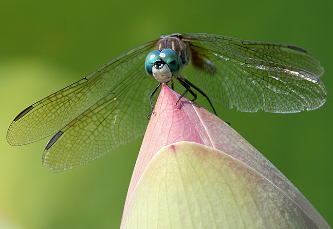 A dragonfly perches on a lotus flower at the New York Botanical Gardens in the Bronx.