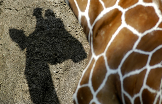 A giraffe casts a shadow of its head on an exhibit wall at the Philadelphia Zoo.