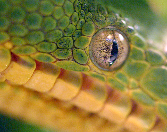 What in the....? The eye of an emerald tree boa greets visitors at the Central Park Zoo.