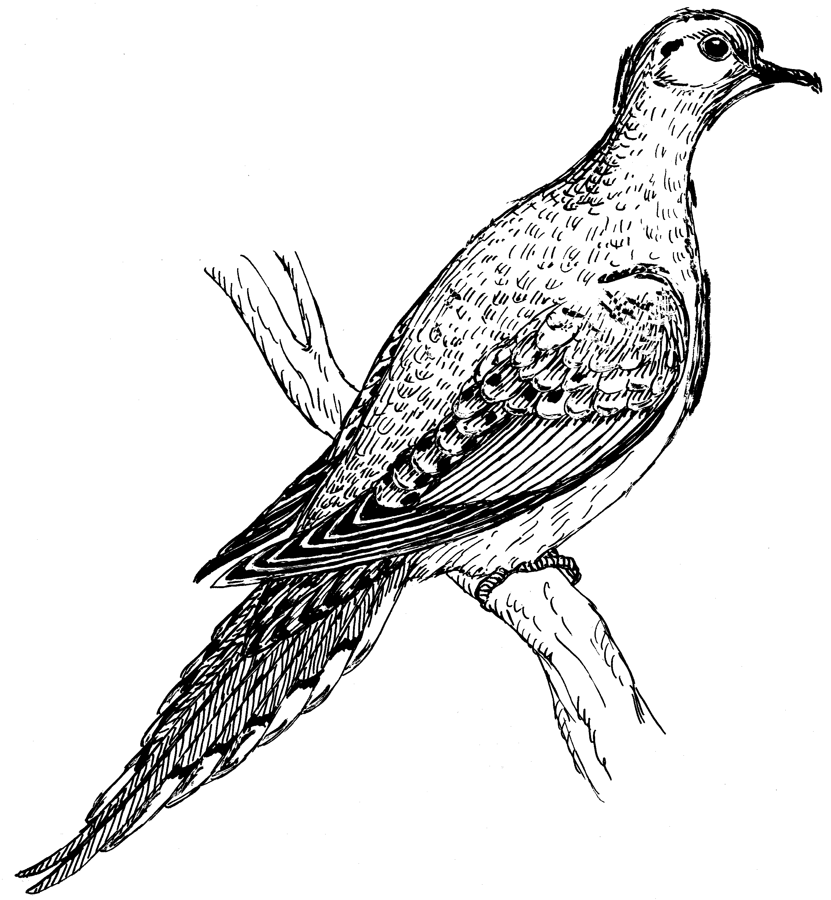 Mourning Dove Drawing