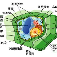 Simple Animal And Plant Cell Diagram Functional Flow Block Visio File:plant Structure Pdf-zh-cn Chinese.pdf - The Work Of God's Children