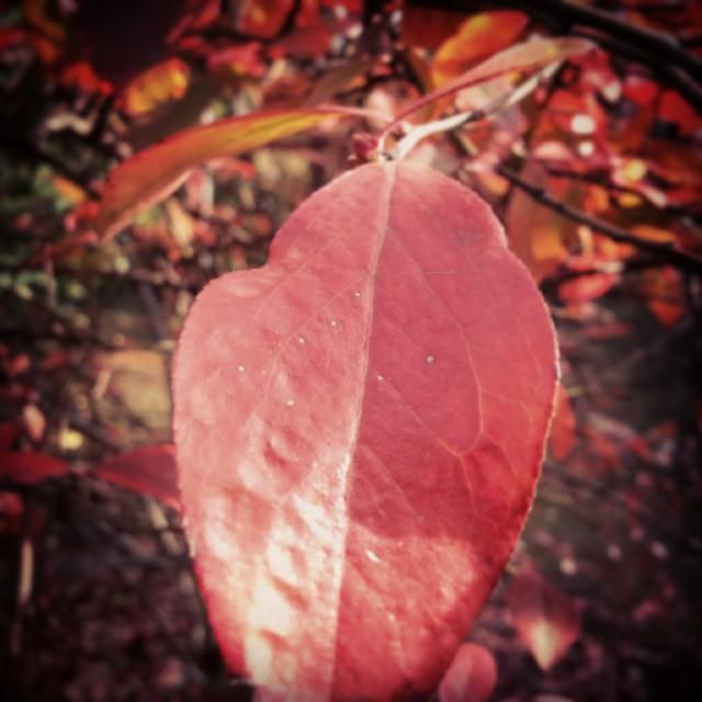 庭で一番紅葉しているのは、ブルーベリーです。