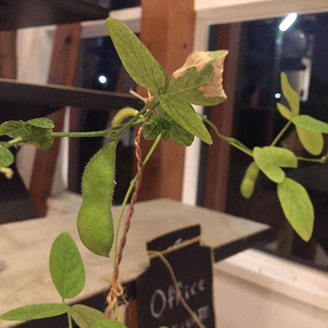 今の所、枝豆は順調っぽい。