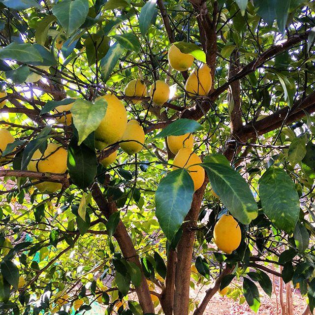 自宅ではレモンが鈴生り