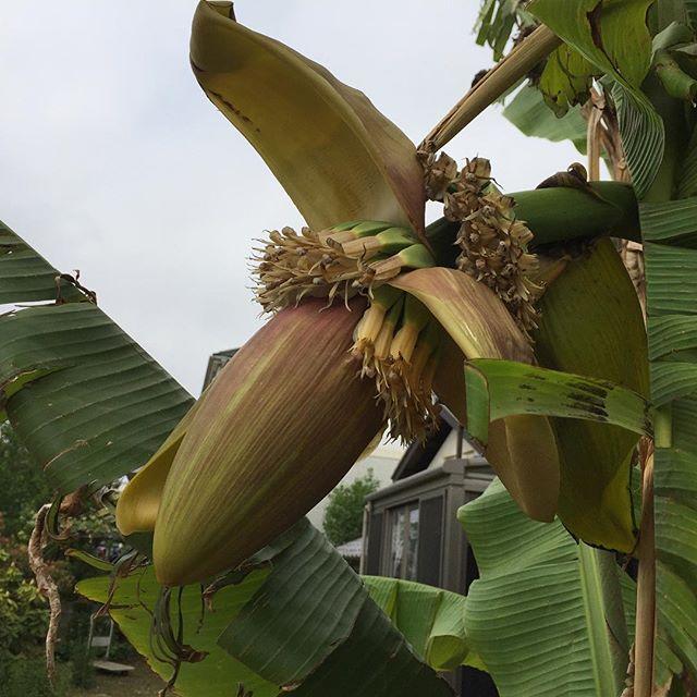 今年のバナナ