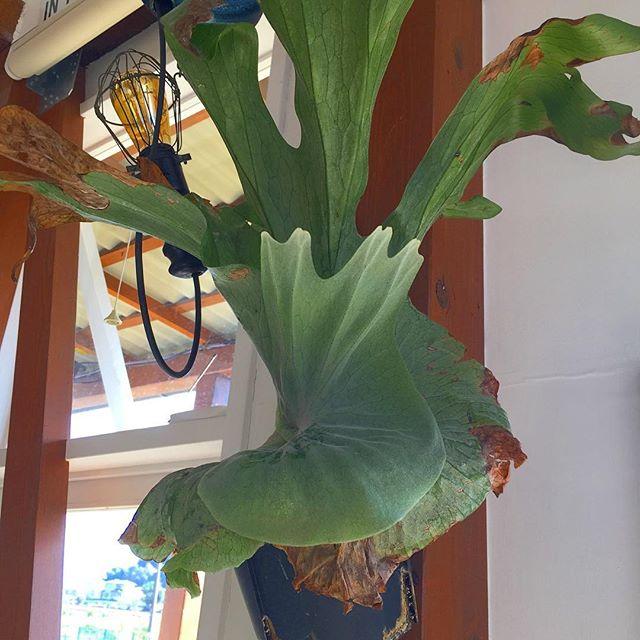 ホームセンターで一番元気が無かったグランデ。元気に葉を展開してきました。#masasfactory