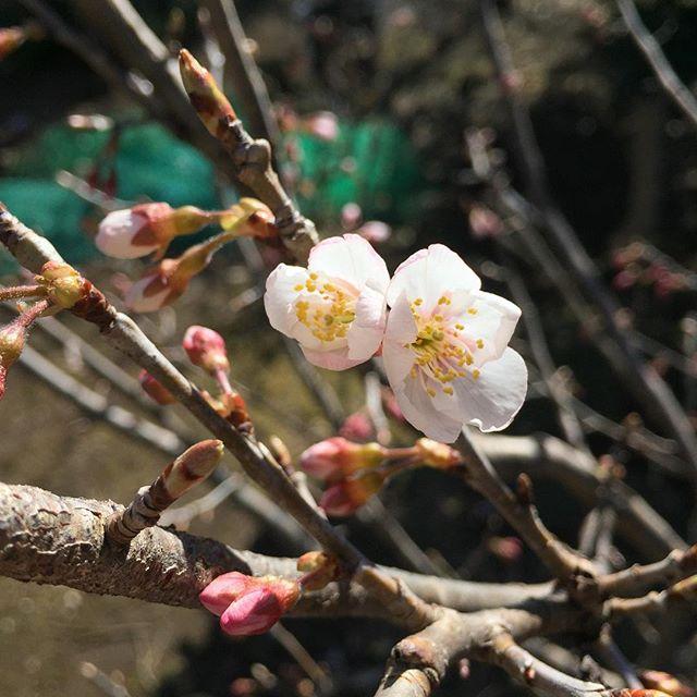 佐藤錦の花が咲き始めてた。
