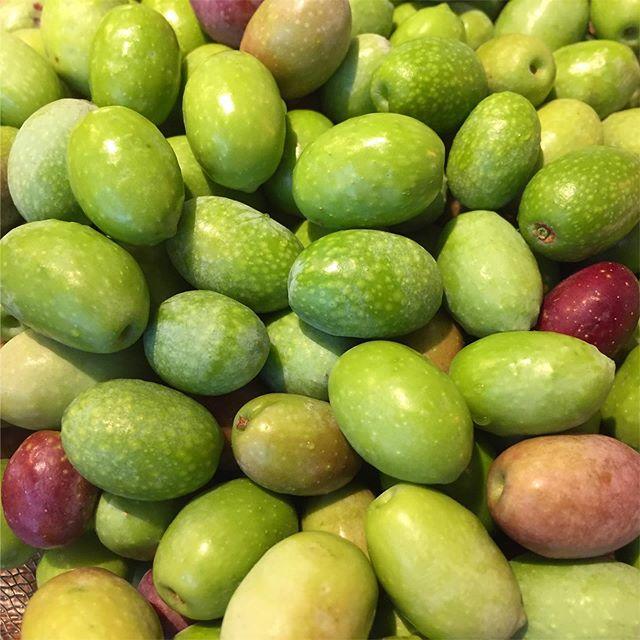オリーブの実 。  店のオリーブを収穫。 思ったよりなっていた。 家のと合わせると、いい量になりそう。