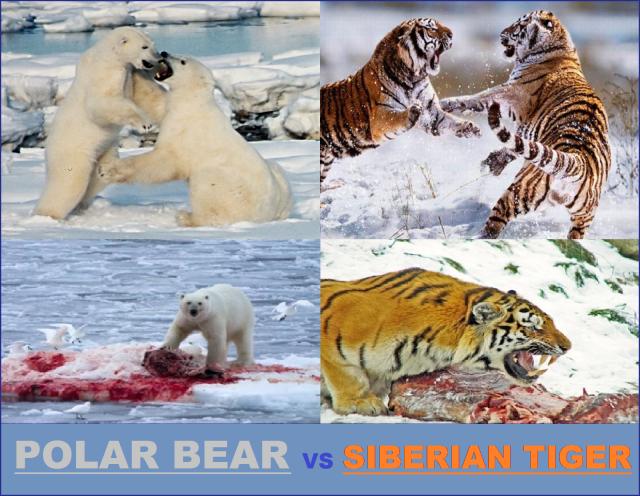 polar bear vs siberian tiger who would win