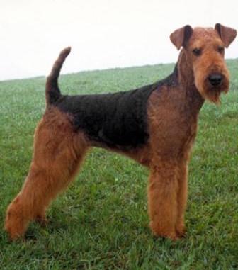 Airedale Terrier Rey de los Terrier
