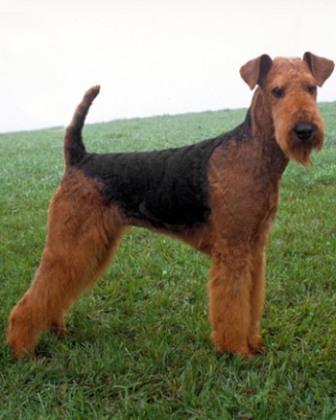 Foto de raza de perro Airedale Terrier