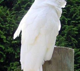 La Cacatúa de moño blanco