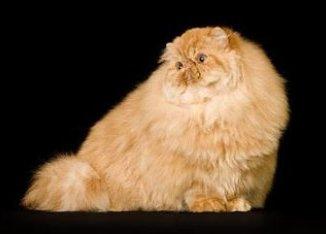 Descripción y origen del gato persa rojo unicolor
