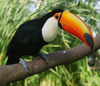 Foto de ave Tucan toco