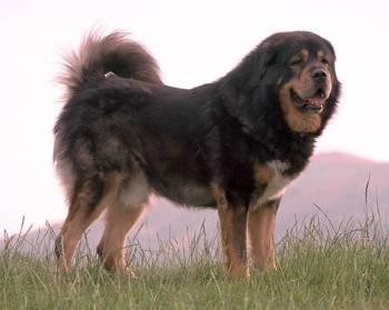 Mastín Tibetano Perro Gigante