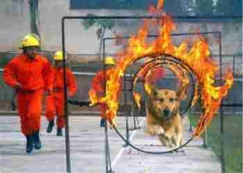 Adiestramientos para perros lazarillos y de rescate