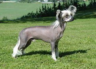 Perro de raza Enano Chino Crestado