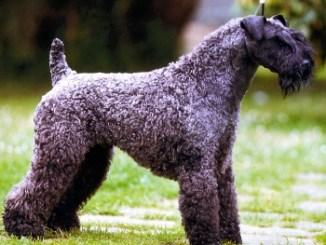 Perro de Raza Kerry Blue Terrier