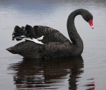 Cómo es el Cisne Negro
