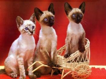 Origen sobre la domesticidad del gato