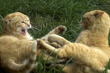 Cómo se manifiesta el Celo y la Sexualidad en los gatos