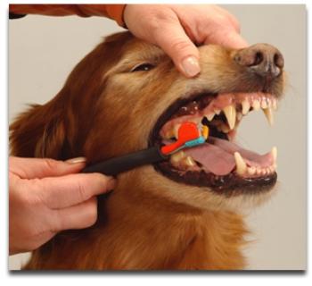 Te enseñamos cómo limpiar la dentadura de tu perro