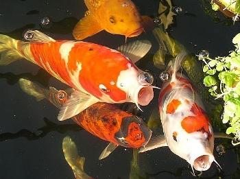 H bitos alimenticios de los peces for Tabla de alimentacion para peces cachama