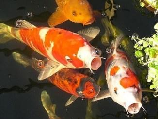 Hábitos alimenticios de los peces