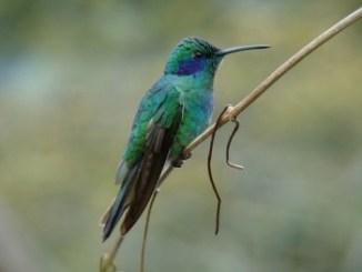 Los colibríes son conocidos con varios nombres