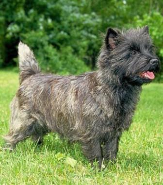 Características del Cairn Terrier