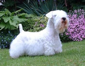 Sealyham Terrier brindan a sus dueños amor y devoción
