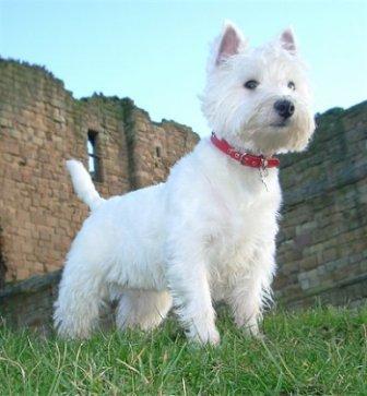 foto de West Highland White Terrier