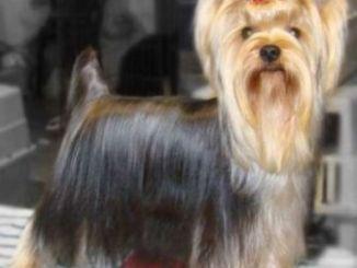 Perro de Raza Yorkshire Terrier