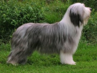 Bearded Collie Un Payaso Afectuoso
