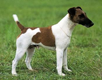 Fox Terrier Smooth o Terrier de Pelo Liso