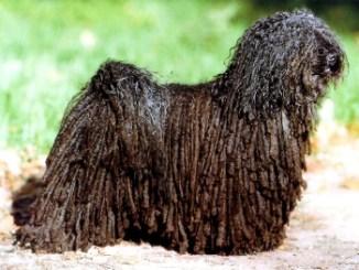 Puli Hungaro también conocido como perro de aguas húngaro