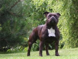 Características del Staffordshire Bull Terrier