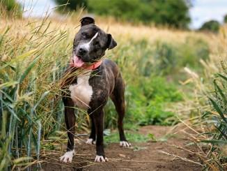 Raza Staffordshire Bull Terrier de Inglaterra