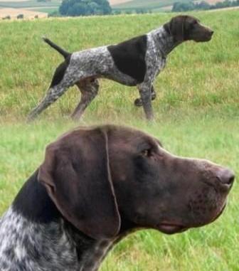 Perro de caza Kurzhaar