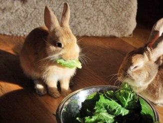 Como Cuidar un Conejo Doméstico