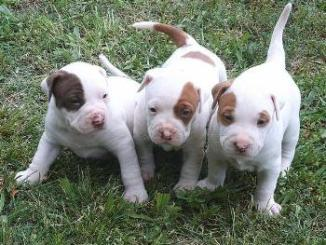 Donde Comprar un cachorro American Pit Bull Terrier